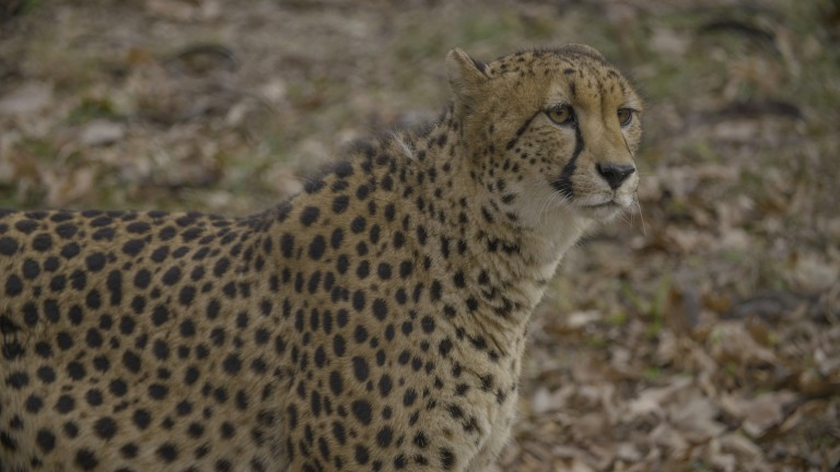 A cheetah standing in the grass