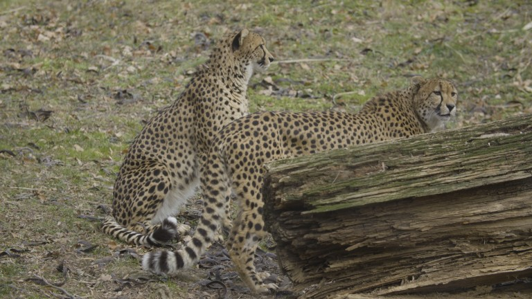 Two cheetahs standing behind a log