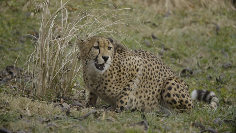 A cheetah crouched on the ground next to some tall grasses