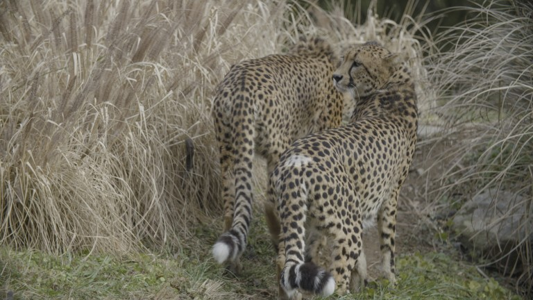 Two cheetahs standing between tall grasses