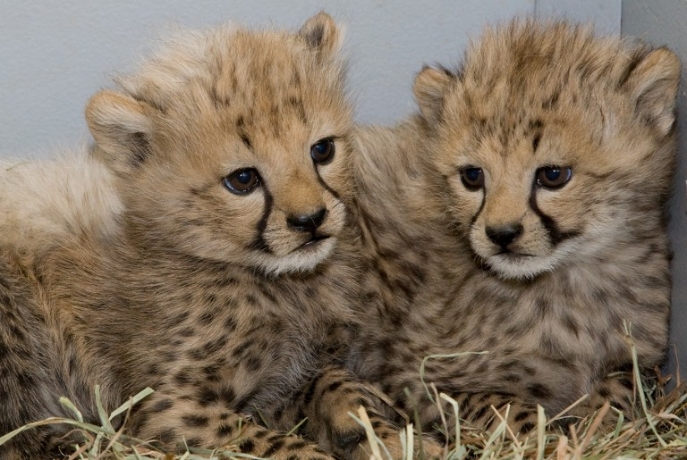 Two young cheetah cubs