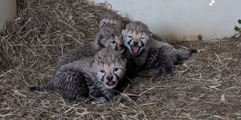 four cheetah cubs in hay