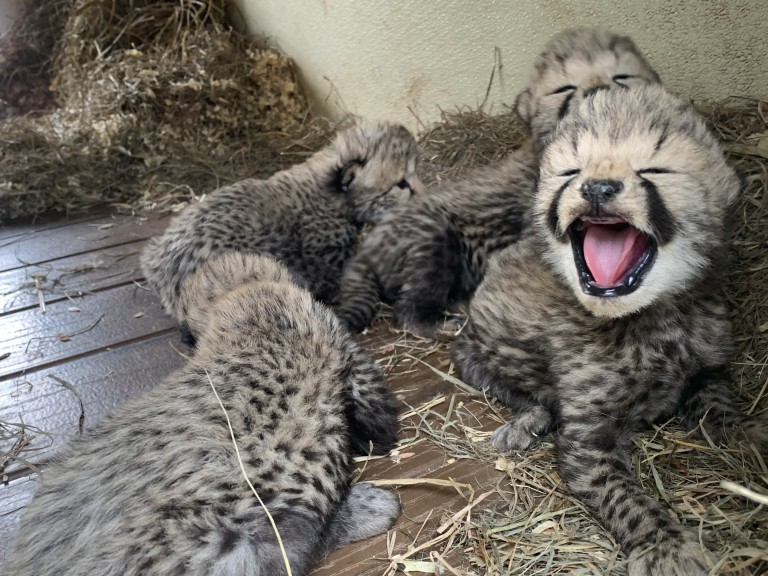 several cheetah cubs up close. one has its mouth open with a pink tongue