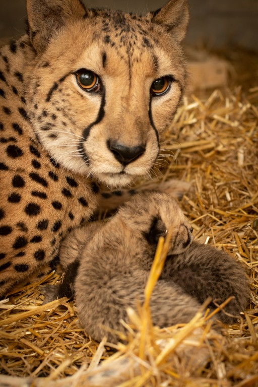 a mother cheetah looks directly at the camera as two cubs sleep beneath her chin