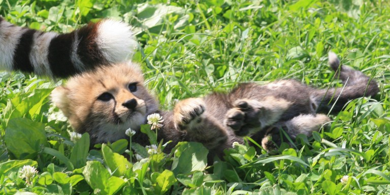 Cheetah cub laying in the grass.