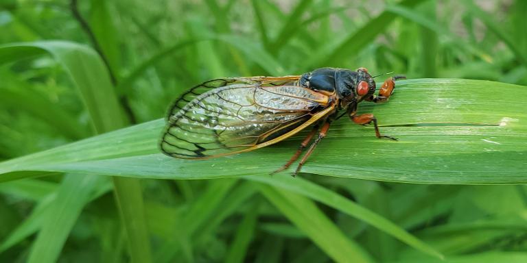 a 17-year Brood X cicada sits on a leaf