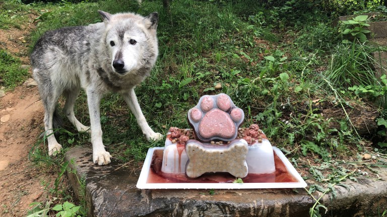 Gray wolf Coby recently celebrated her 16th birthday at American Trail.