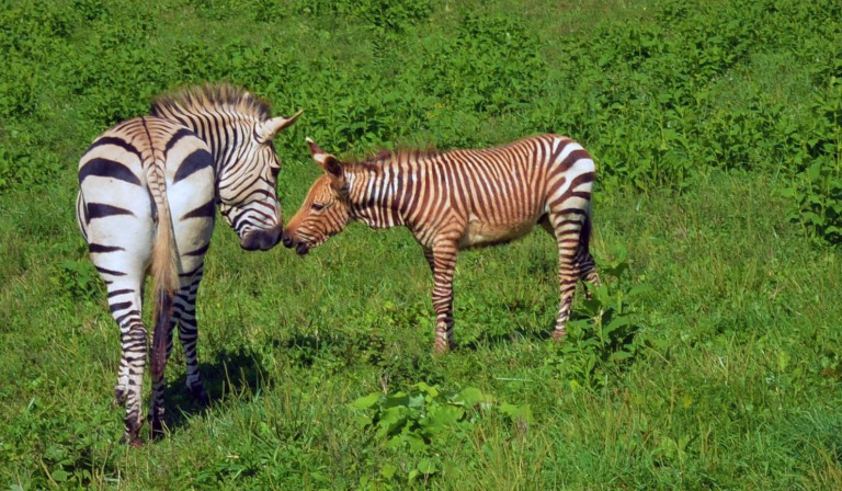 Hartmann's mountain zebra colt touches noses with his herd mate, Xolani.