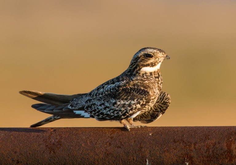 A small hawk, called a common nighthawk, perched on a wall