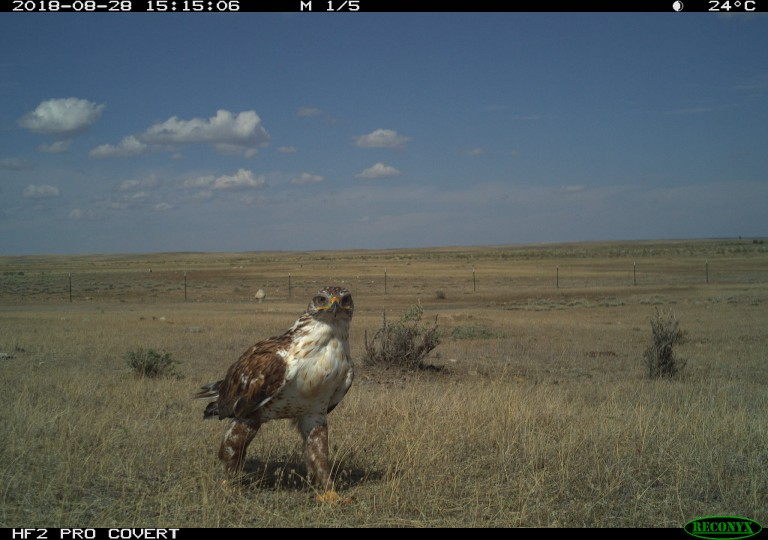 Camera trap photo of a bird on the American Prairie Reserve in Montana.