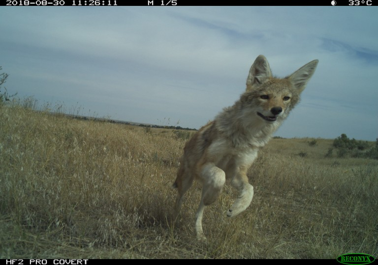 Camera trap of a coyote at the American Prairie Reserve in Montana.