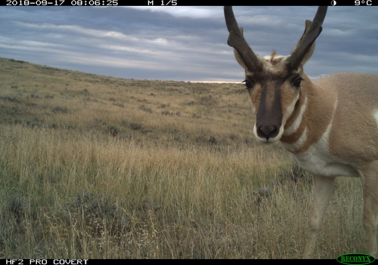 Camera trap photo of an antelope at American Prairie Reserve in Montana.