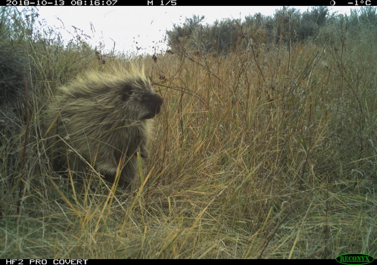 Camera trap photo of a North American porcupine on the American Prairie Reserve in Montana.