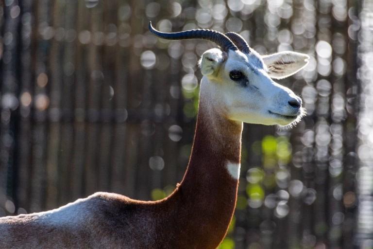 Profile of dama gazelle Zafirah at the Cheetah Conservation Station.