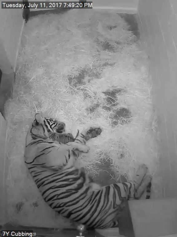 Sumatran tiger Damai and her cub, which was born July 11 at 4:17 p.m.