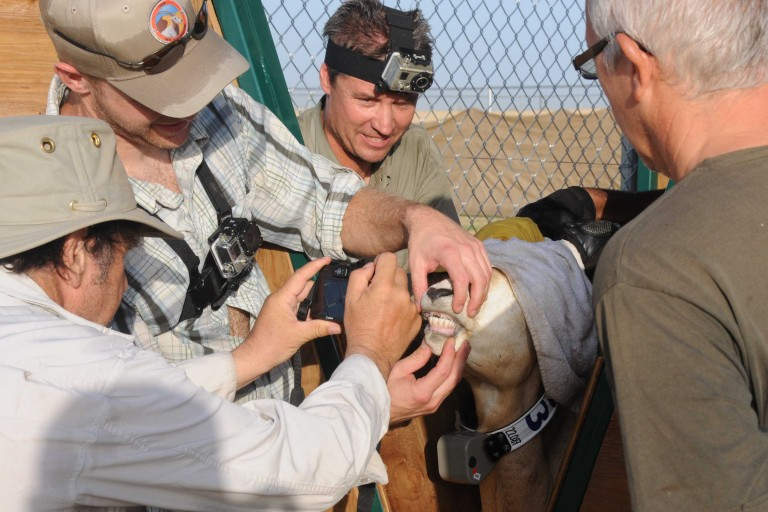 Scientists examining the teeth of an oryx about to be released