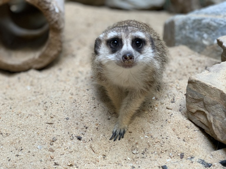 Meerkat Dogo rests in the sand of his habitat in the Small Mammal House.