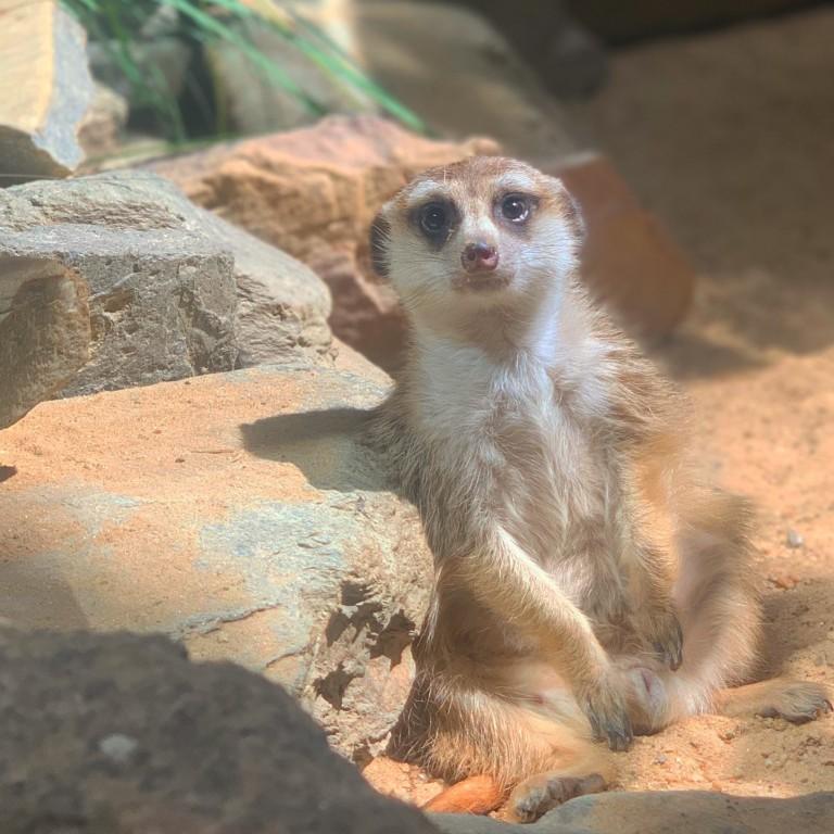Meerkat Dogo suns himself in his habitat at the Small Mammal House.