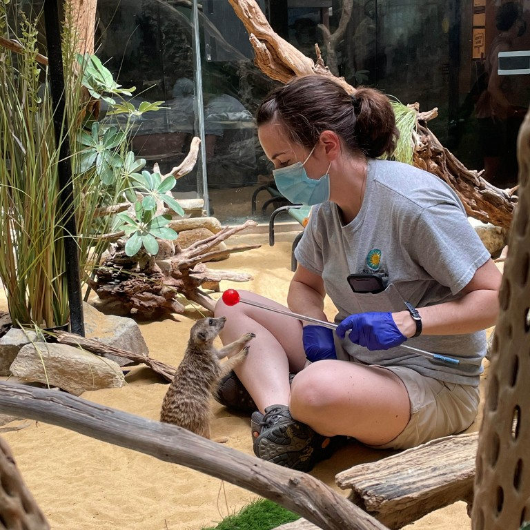 Meerkat Dogo participates in a target training session with Small Mammal House keeper Ann Gutowski.