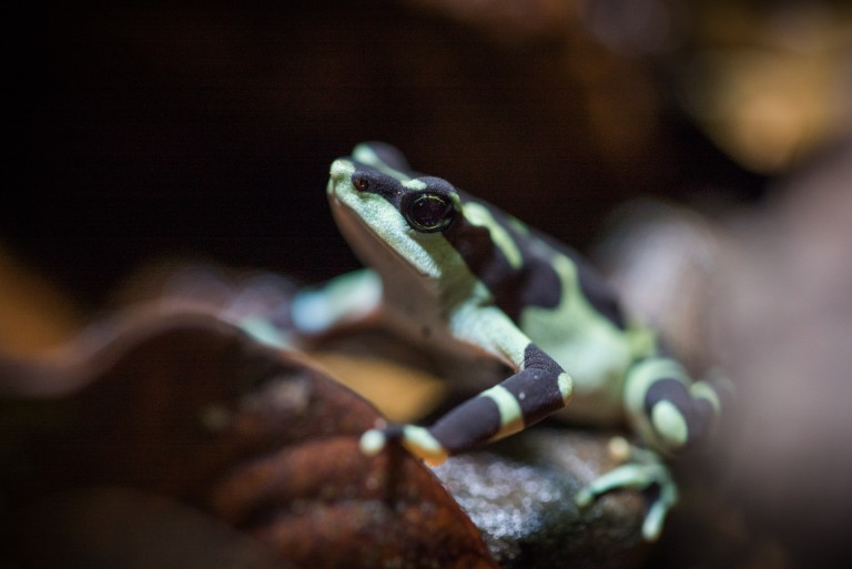 A limosa harlequin frog, a tiny brown and green frog native to Panama.