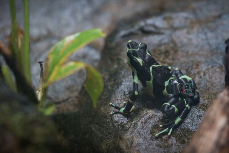 A limosa harlequin frog on a rock