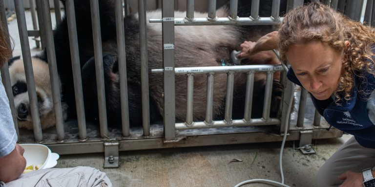 Giant panda Mei Xiang lays down voluntarily for keepers and veterinary staff to conduct an ultrasound