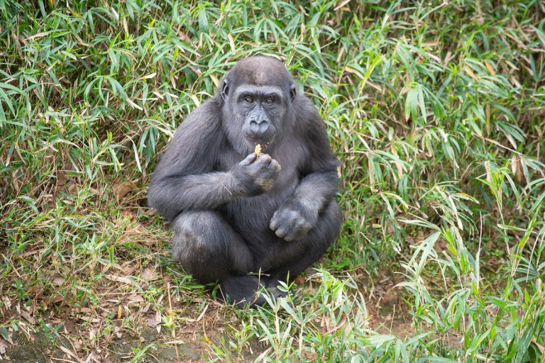 Western lowland gorilla Moke sits on the hillside of his outdoor habitat.
