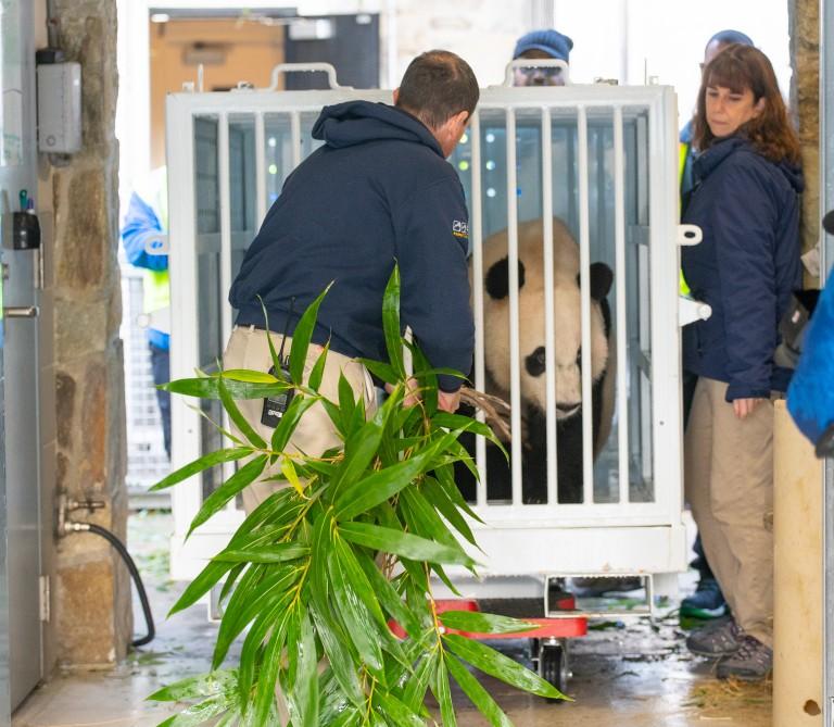 A panda keeper loads bamboo into a crate holding a giant panda