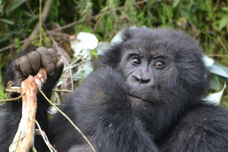A Rwandan mountain gorilla holding a stick and eating