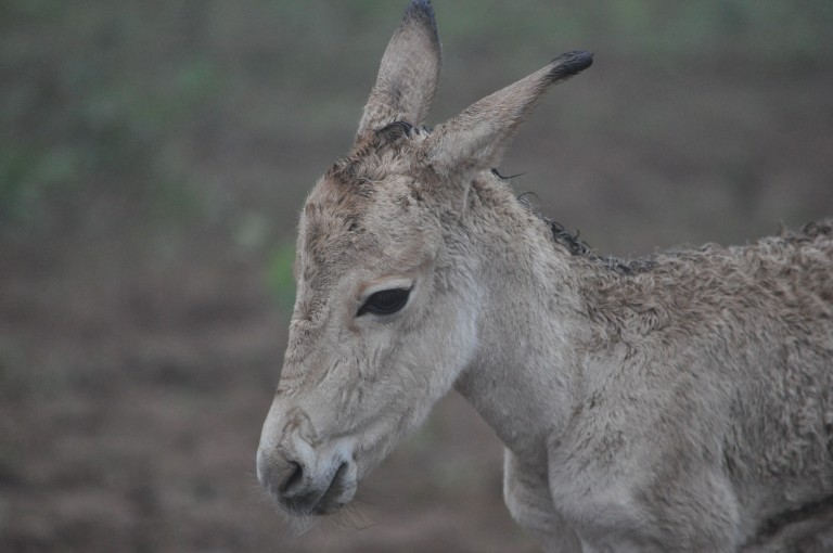 Persian onager calf born in 2015.
