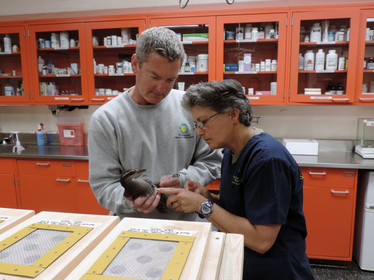 Animal keeper Warren Lynch and veterinary technician Lisa Ware conduct a final exam on the Guam rails prior to shipment.