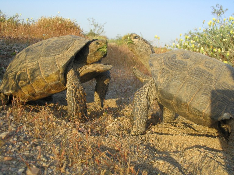 Two male desert tortoises approaching each other to fight