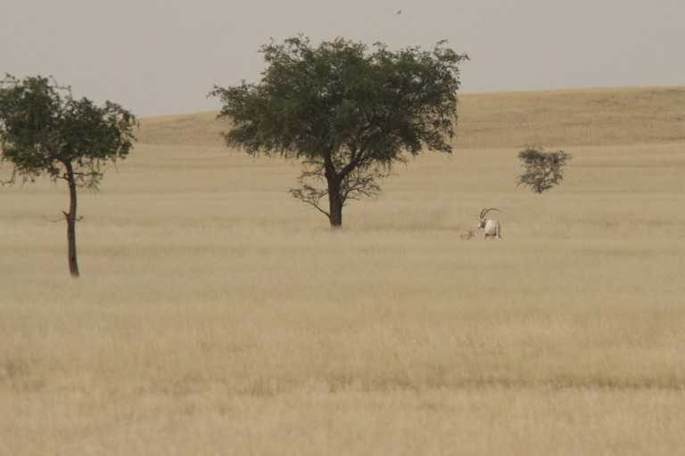 Wild-born scimitar-horned oryx calf and mother in Chad