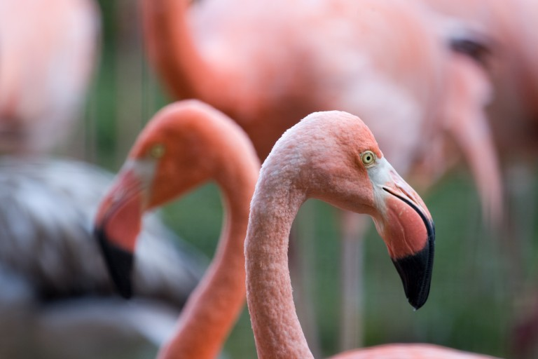 A close-up of two flamingos' heads with pink feathers and large, hook-shaped bills