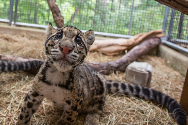 A clouded leopard cub with a pink nose and spots that look like clouds.