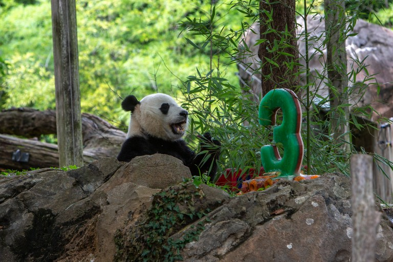 Giant panda Bei Bei sits down to eat a piece of a decorative ice cake he received for his third birthday at the Smithsonian's National Zoo