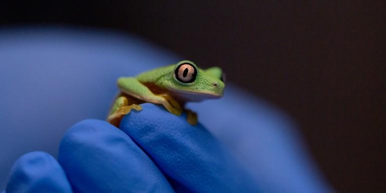 Lemur leaf frog sitting on a blue glove.