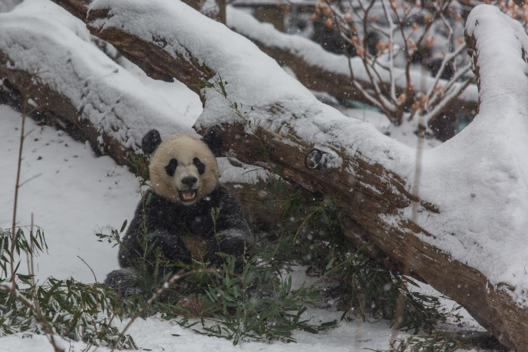 Giant panda Bei Bei in the snow.