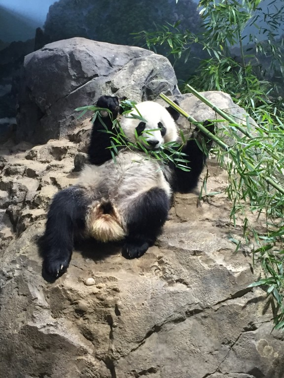 Giant panda Bei Bei rests and eats bamboo on a rock in his indoor habitat