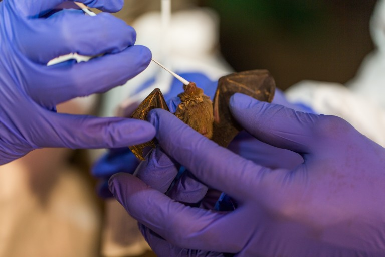 Scientists from Smithsonian's Global Health Program taking samples from a bumble bee bat in Myanmar.