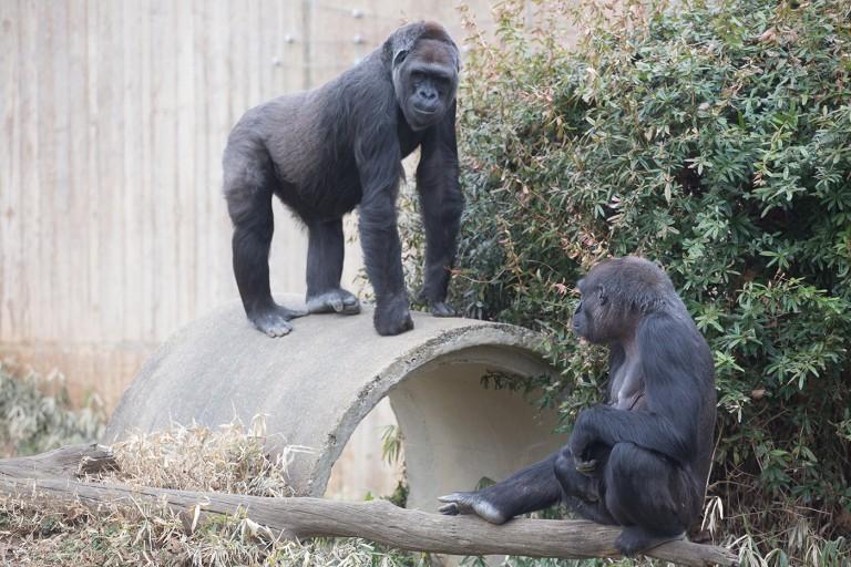 Western lowland gorillas Mandara and Calaya in their yard