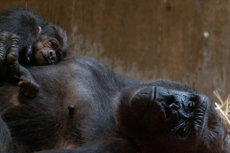 Western lowland gorilla Moke rests on the chest of his mother Calaya, who is laying on her back