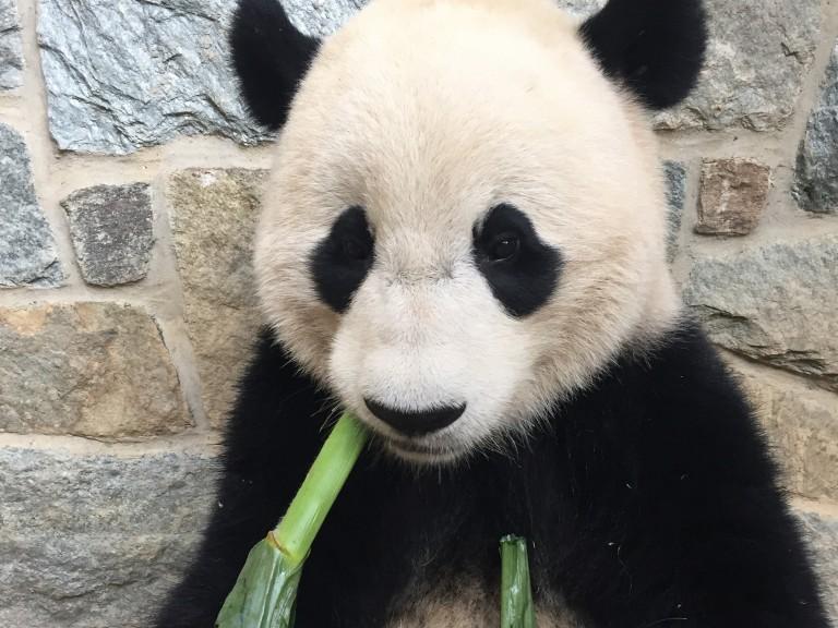 giant panda Bao Bao with corn stalk