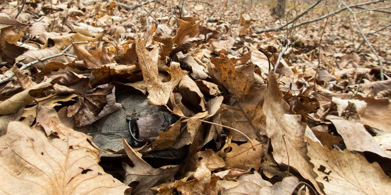 A wood turtle hidden in a pile of dead leaves. The turtle has a GPS tracker attached to its shell.