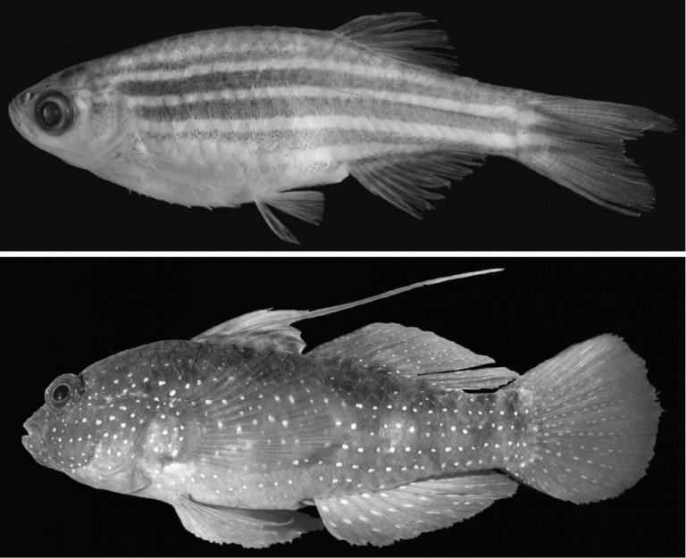 Black-and-white image of zebrafish
