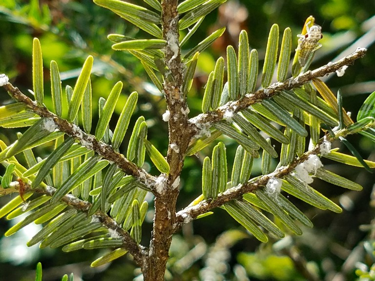 A close-up photo of the branch of a hemlock tree