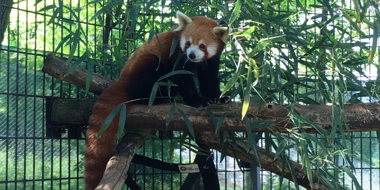 Red panda Henry at the Smithsonian Conservation Biology Institute.