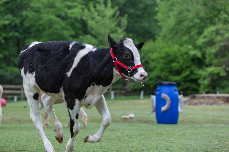 Holstein calf Magnolia frolics at the Kids' Farm.
