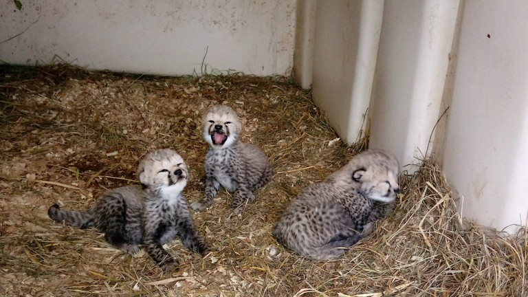 Cheetah Sukiri's three cubs in their den at the Smithsonian Conservation Biology Institute.