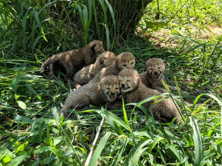 Cheetah cubs at the Smithsonian Conservation Biology Institute